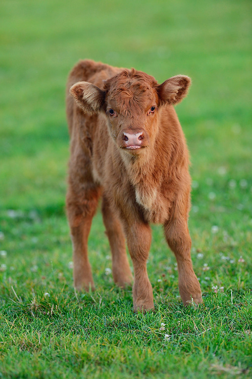 Crossbreed calf, Tauros/Aurochs breeding site run by The Taurus Foundation, Keent Nature Reserve, The Netherlands