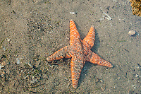 Also sometimes called the purple sea star, this very common sea star and tide pool favorite is found all along the Pacific Northwest's rocky coastline. Ranging from bright orange to deep purple, they can reach a size of 16 inches, and live 20 years or more! This one was seen under a few inches of water in a tide pool on Cannon Beach, Oregon.
