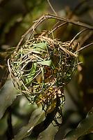 A male Golden Weaver Bird weaving a nest in Mombasa, Kenya