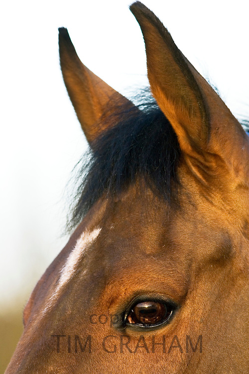 Cleveland Bay x Thoroughbred Horse, Oxfordshire, United Kingdom.