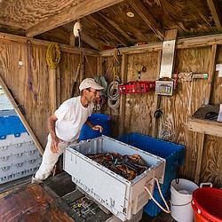 Lobster buyer Damon Rice weighs lobsters at the Tenants Harbor Fisherman's Coop in Tenants Harbor, Maine.
