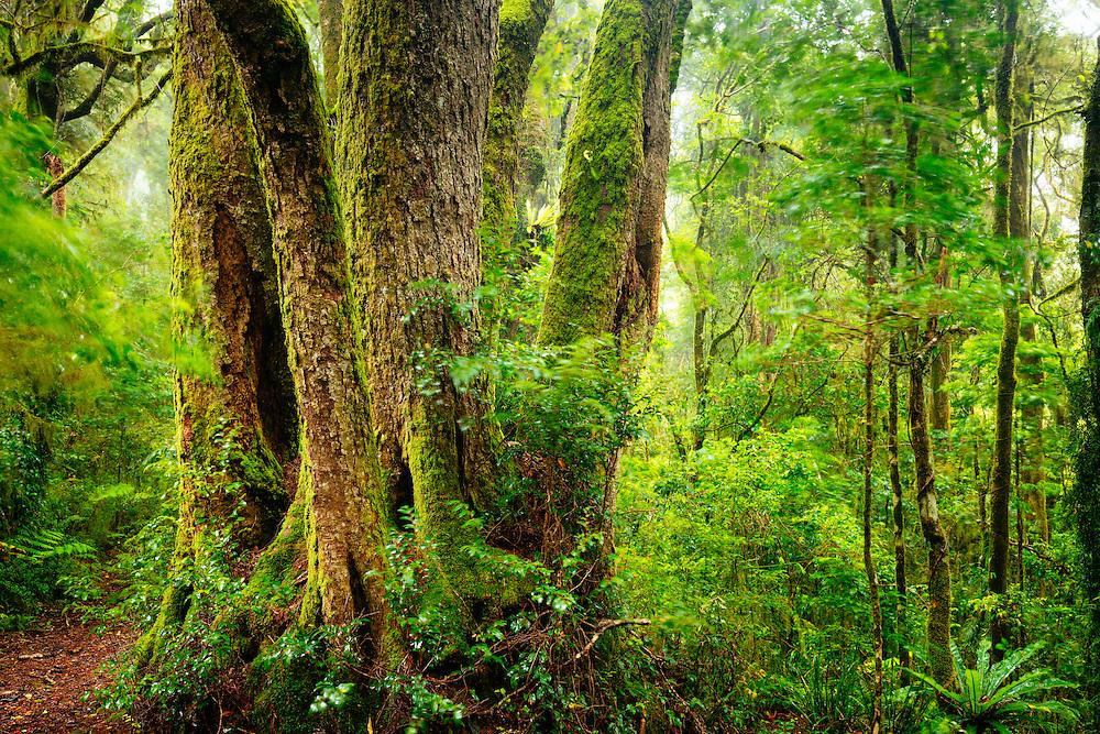 A substantial sized Antarctic Beech tree grows amongst the green, wet subtropical rainforest. Lamington National Park.
