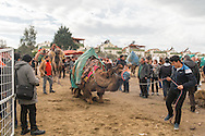 TURKEY, Izmir, Selçuk. Competing camels are walked into and  around the wrestling arena, past fans at the 35th annual Selçuk Camel Wrestling Festival.