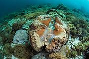 Giant Clam (Tridacna gigas)<br /> Banda Sea<br /> Indonesia
