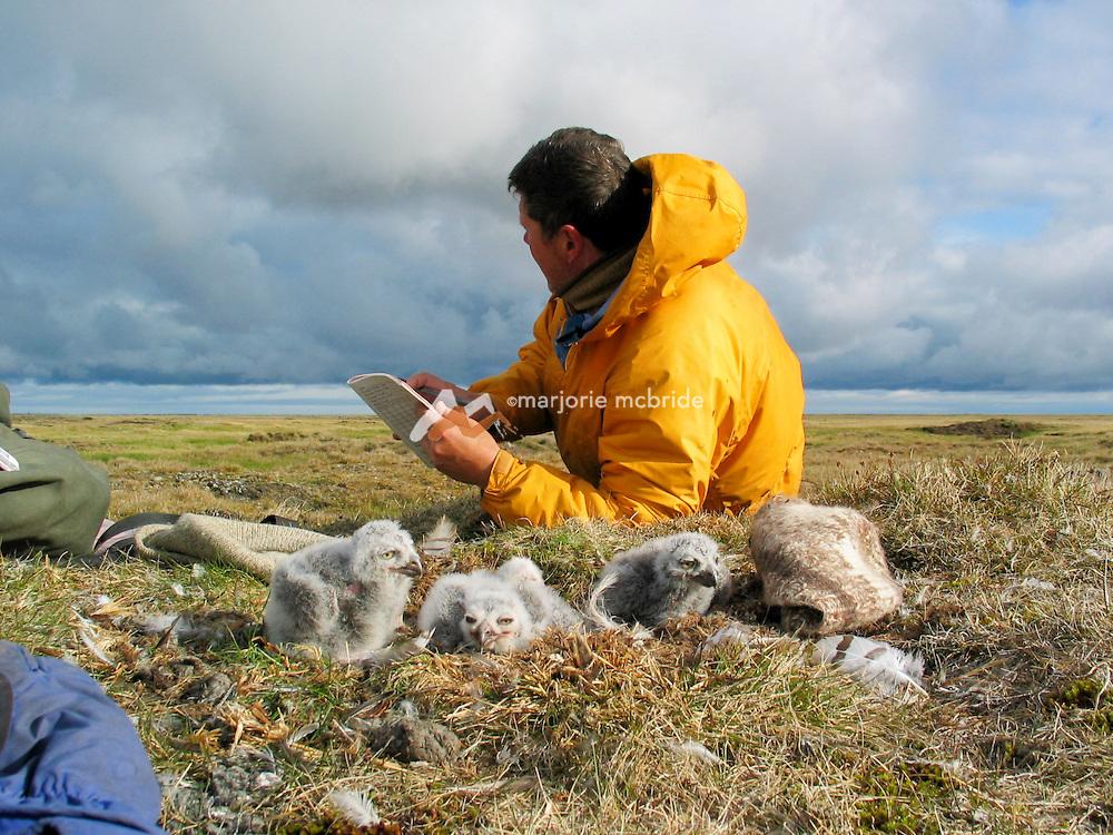 Owl biologist Denver Holt laying in the tundra collecting data on snow owl chicks near Barrow, Alaska.
