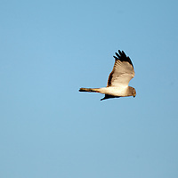 The northern harrier is a bird of prey. It breeds throughout the northern parts of the northern hemisphere in Canada and the northernmost USA, and in northern Eurasia.   Here one is seen flying in the marsh area of Sandy Hook Gateway National Recreation Area.