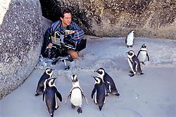 African Penguins & Justin (bbc Film Maker) On Beach