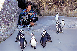 African Penguins & Justin (bbc Film Maker) On Beach