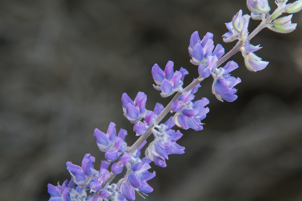 """Close-up detail of Lupinus sericeus, the silky lupine. Notice the fine, soft hairs on the back of the flowers - that's where it gets it's name. Sericeus is Latin for """"silky""""."""