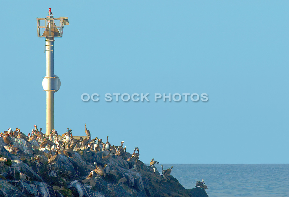 Pelicans on the Jetty in Newport Beach