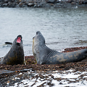 Southern Elephant Seals on the beach on Livingston Island in the South Shetland Islands, Antarctica.