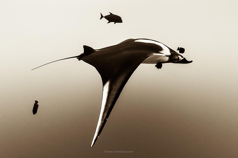 México, Revillagigedo Islands, Socorro. A Manta birostris swimming on top of Cabo Pierce.