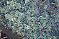 This beautiful teal-green bullseye lichen was found growing in the Oak Creek Wildlife Recreation Area just west of Yakima, Washington. If you look closely, you can see the small fleshy fruiting bodies in the center of each lichen that will eventually release its spores to propagate the next generation. This region of the Pacific Northwest is very dry and rocky, and most of the basalt surfaces are covered in multiple types of lichen.