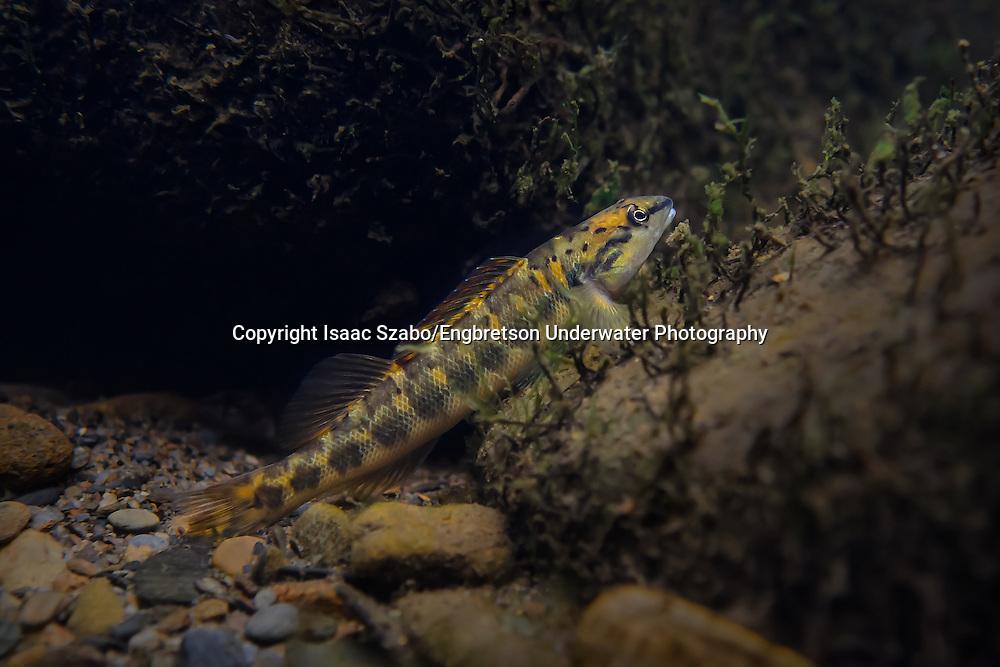 Bronze Darter<br /> <br /> Isaac Szabo/Engbretson Underwater Photography