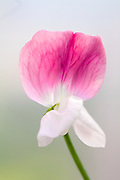 Lathyrus odoratus 'Painted Lady' - sweet pea