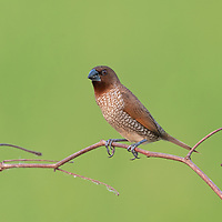 The scaly-breasted munia or spotted munia (Lonchura punctulata), is a sparrow-sized estrildid finch native to tropical Asia. Its name is based on the distinct scale-like feather markings on the breast and belly. The adult is brown above and has a dark conical bill. <br /> <br /> This munia eats mainly grass seeds apart from berries and small insects.