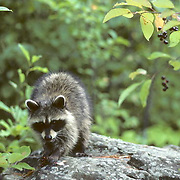 Raccoon, (Procyon lotor),Young female eating elderberries on rock in late summer.   Captive Animal.