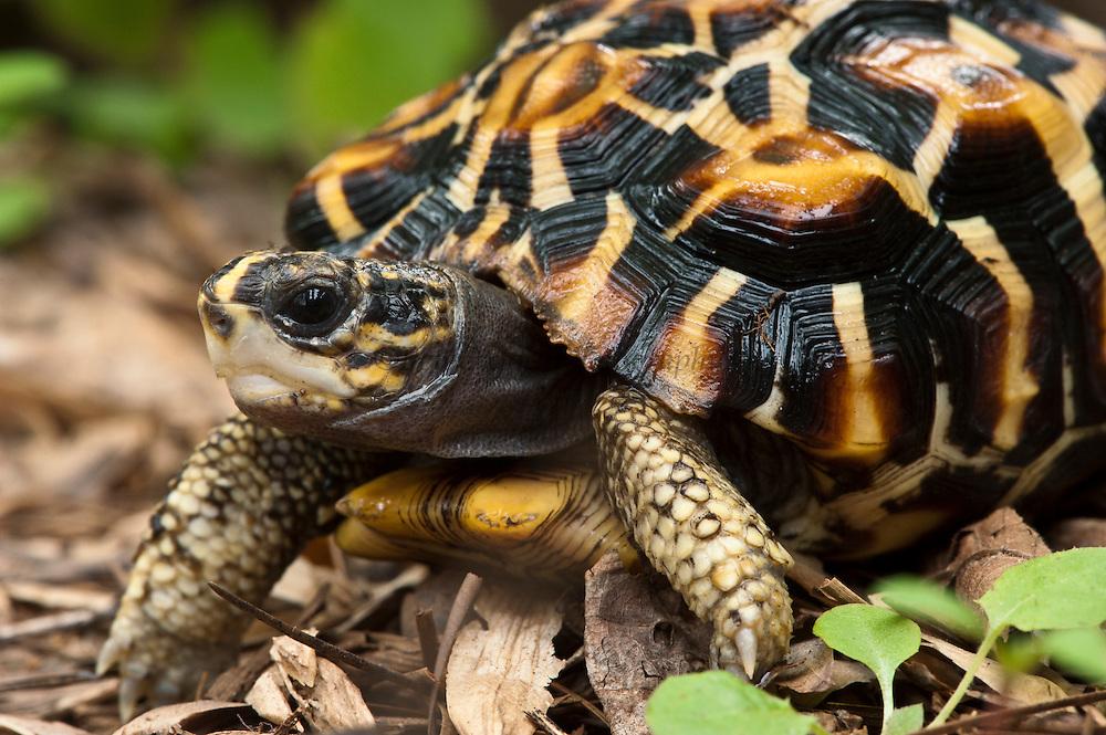 Flat-backed Spider Tortoise (Pyxis planicauda), native to Madagascar