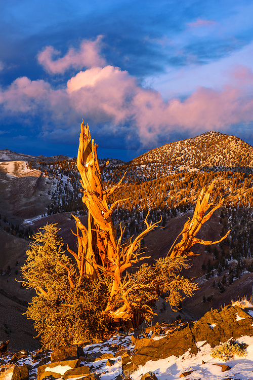 Clearing Storm and Sunset Glow on of Ancient Bristlecone Pine, The White Mountains, Inyo National Forest, California