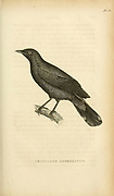 Graucalus fimbriatus from volume XIII (Aves) Part 2, of 'General Zoology or Systematic Natural History' by British naturalist George Shaw (1751-1813). Griffith, Mrs., engraver. Heath, Charles, 1785-1848, engraver. Stephens, James Francis, 1792-1853 Published in London in 1825 by G. Kearsley