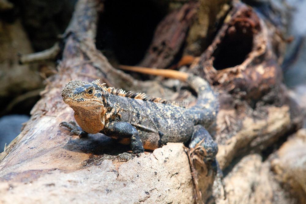 A spiny-tailed iguana(Ctenosaura similis)  in Costa Rica.