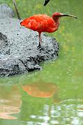 Avifauna, Europa's grootse vogelpark. / Avifauna - the largest bird sanctuary in Europe Op de foto / On the photo: Rode Ibis (Eudocimus ruber ) / scarlet ibis
