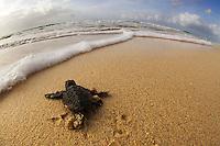18/Septiembre/2014 Cabo Verde. Boa Vista.<br /> Crías de tortuga Carettha carettha se dirigen al mar después de la eclosión del nido en la playa de Joao Barrosa.<br /> <br /> © JOAN COSTA