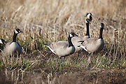 USA, Oregon, Baskett Slough National Wildlife Refuge, a small flock of Canada Geese (Branta canadensis).