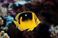 Chaetodon quadrimaculatus (Fourspot Butterflyfish)