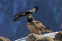 Lammergeier; Gypaetus barbatos; Raven; Corvus corax, Cebollar, Torla, Aragon, Spain.