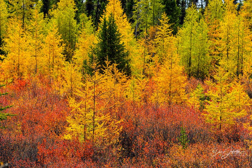 Eastern larch and dwarf birch in autumn colour, Arctic Haven Lodge, Ennadai Lake, Nunavut, Canada
