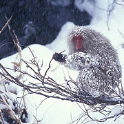Snow Monkey or Japanese Red-faced Macaque, (Macaca fuscata) Browsing. Japan.
