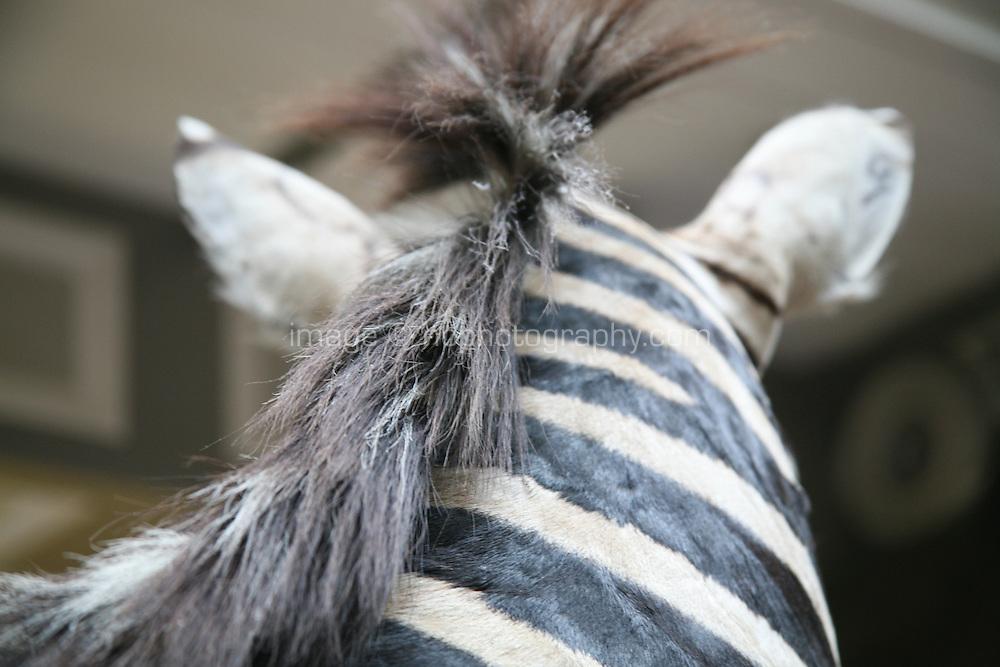 Stuffed zebera in a museum in Dublin