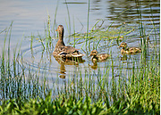 Mom and ducklings at Bruce Park in Greenwich, CT.
