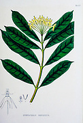 Hoya multiflora (Syn Cyrtoceras reflexum) from the 19th century manuscript 'Plantae Javanicae rariores, descriptae iconibusque illustratae, quas in insula Java, annis 1802-1818' (Java Plants, Description of plants on the island of Java) by Horsfield, Thomas, 1773-1859 Published in Latin in London in 1838