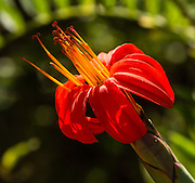 Red flower. Day 9 of 9 days trekking around the Cordillera Huayhuash in the Andes Mountains, Llamac, Peru, South America.