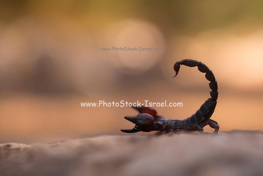 Israeli black scorpion (Scorpio maurus fuscus) AKA Israeli Gold Scorpion on a sand dune Photographed in Israel in Summer August