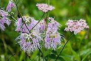 Purple and pink alpine wildflowers bloom in the Alpstein limestone range, Appenzell Alps, Switzerland, Europe.