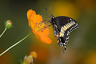Butterfly, Black Swallowtail On An Orange Flower, Papilio polyxenes Fabricius