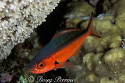 neon fusilier, Pterocaesio tile, <br /> nightime coloration ( red belly )<br /> Flinders Reef, Coral Sea, <br /> Australia