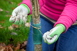 Putting a horticultural grease band around the trunk of  a cherry tree to reduce the number of winter moth caterpillars