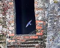 Barn Swallow (Hirundo rustica). Estuário do Tejo (Targus Estuary), Lisbon, Portugal. Image taken with a Nikon D4 camera and 80-400 mm VR lens.
