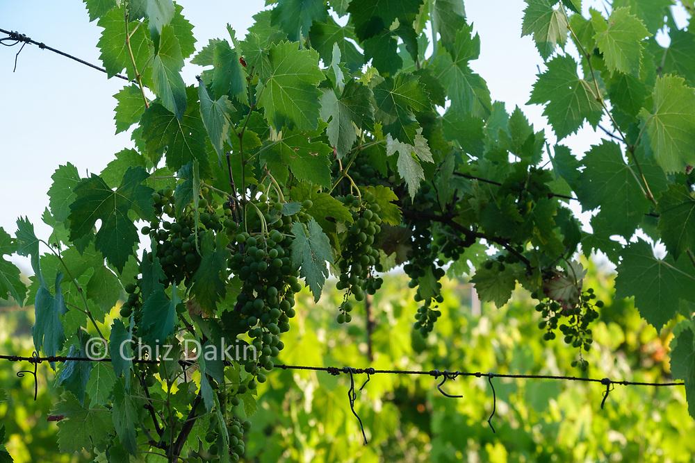 Tuscan vines growing near Sinalunga
