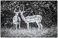 05-11-2017  Foto's genomen tijdens een persreis naar Buffalo City, een gemeente binnen de Zuid-Afrikaanse provincie Oost-Kaap. East London Golf Club - Impala's