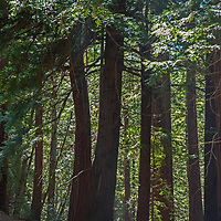 Sunlight filters through the canopy of a redwood forest in the Santa Cruz Mountains in the Bay Area of California.