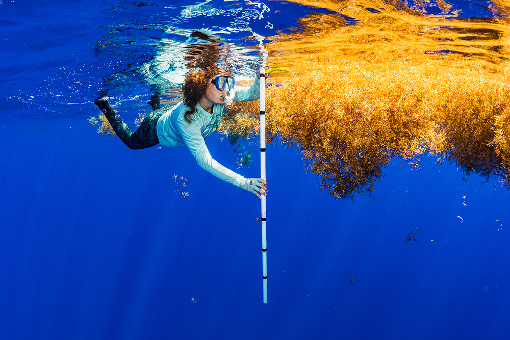 Scientist Nerine Constant measures a mat of sargassum seaweed as part of their study to see if sargassum might act as an incubator to sea turtles with warmer temperatures than the surrounding water.