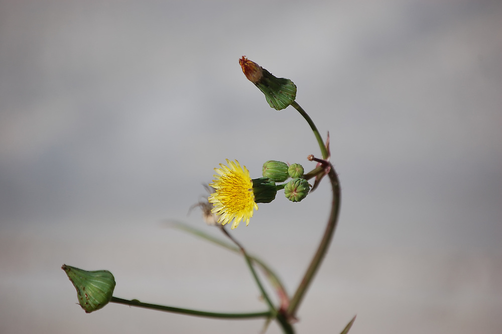 This common weed is usually found in disturbed areas, such as this one on the side of US41 in Collier County, Florida.