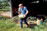 President elect Jimmy Carter cuts watermelons on his farm land in Plains, Georgia. Carter was walking his land with one of his tenant farmers. - To license this image, click on the shopping cart below -