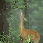 Whitetail Deer, (Odocoileus virginianus) Doe in lush forest browsing on vegetation. Minnesota..  .Whitetail Deer, (Odocoileus virginianus) Doe in lush forest browsing on vegetation. Minnesota..