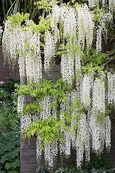 Wisteria sinensis 'Alba'. Chinese wisteria